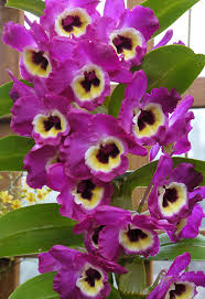 dendrobium orchid the orchid column how to grow dendrobium nobile