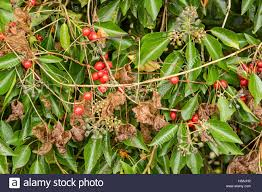 native hedgerow plants dioscorea communis black bryony a wild native highly poisonous