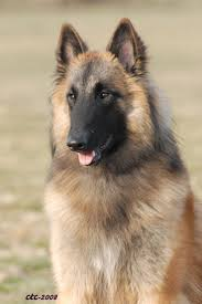 belgian sheepdog national specialty 47 best dogs images on pinterest animals dog breeds and