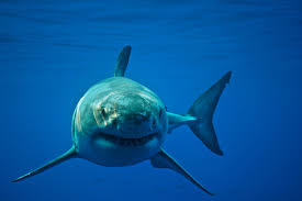 shark fight scientists complain about rival great white tagging