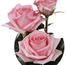 buy roses pink roses wholesale pink roses for sale online