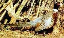 state bird of south dakota south dakota state bird ring necked pheasant 50states com