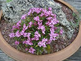 daphne arbuscula u0027muran castle u0027 north american rock garden society