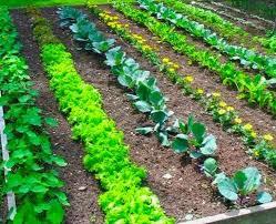 how to grow a vegetable garden gardening abc