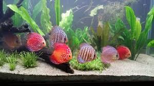 pesci alimentazione acquario con discus la giusta alimentazione deabyday tv