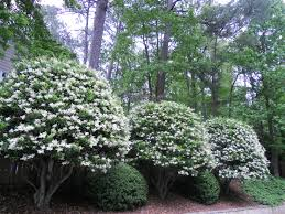 plants native to louisiana ligustrum trees grow great in louisiana evergreen white sweet