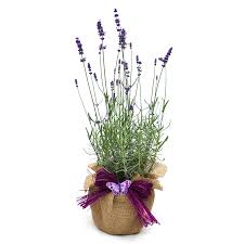 Fragrant Plants For Pots - scented english lavender plant gift lavender christmas gifts