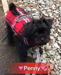 affenpinscher ottawa puginese dog breed information and picturess