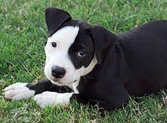 american pitbull terrier akc american pit bull terrier breed information