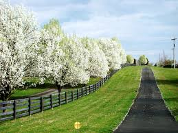 a row of bradford pear trees along the driveway landscape and