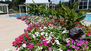 vinca flower on gardening cora cascade vinca spreading color and happiness