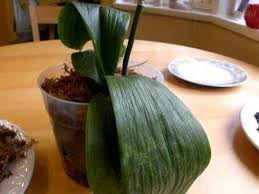 What Is An Orchid Flower - how to water an orchid not explaining root rot and overwatering