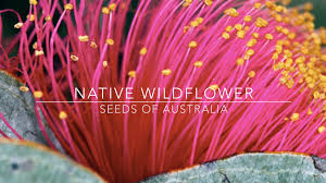 plants native to egypt bringing australian wildflowers to the world by nativerepublica