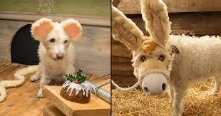 dog christmas cards photographer uses his dog as the model for christmas cards