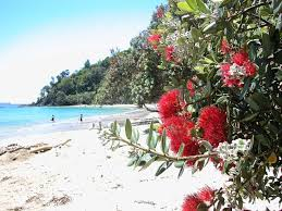 Commercial Christmas Decorations Nz by Pohutukawa Trees Nzhistory New Zealand History Online