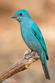 Verditer Blue Paint Me Blue U0027 Verditer Flycatcher Bedazzling Birds