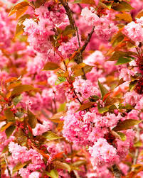 Trees With Pink Flowers Types Of Ornamental Cherry Trees Hgtv