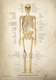 Human Anatomy Anterior Medical Illustrations U0026 Anatomical Graphics