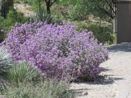 russian native plants purple sage bush desert landscaping pinterest gardens