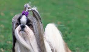 affenpinscher with underbite shih tzu dog breed information
