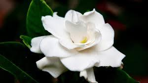 Gardenia Flower Flowers That Look Like Roses U2013 White Gardenia Flower Hd