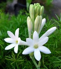 fragrant flowers mexican tuberose 3 bulbs delightful fragrant