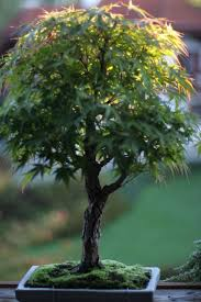 directly transplanting of native monocots from donor areas to 78 best bonsai ikebana images on pinterest gardens ikebana
