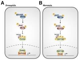 si e social hippopotamus cancers free text the hippo pathway immunity and cancer