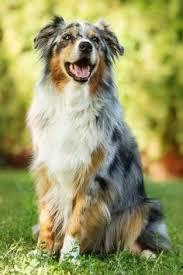 australian shepherd dog food radivs 2 x duke by anne geier cute and beautiful animals