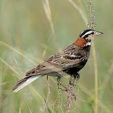 North Dakota birds images North dakota grassland birds north dakota game and fish jpg