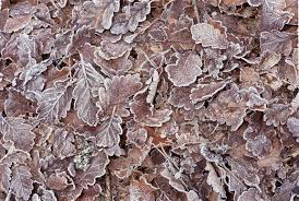 free image of frosty brown autumn leaves