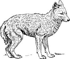 free animals jackal printable coloring pages for adults