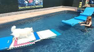 american eskimo dog apartment 15 yo mini american eskimo dog esky nicki runs fast on water over