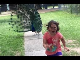 Yellow Raincoat Girl Meme - terrified girl running from a peacock becomes a hilarious meme as