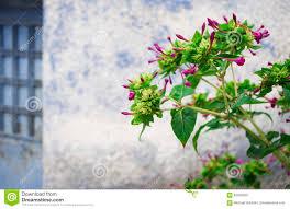 nicotiana ornamental tobacco plant stock photo image 62528362
