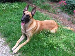 belgian shepherd kinds we u0027ve just discovered that dogs can detect breast cancer