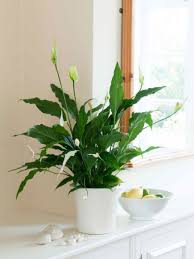Beautiful House Plants Decorations Easy Maintain Indoor Plant Features Spathiphyllum Or