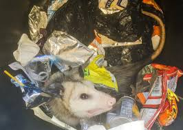 oh possums get a pouch full of facts mississippi state