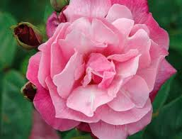 flower of gardens image 9 pbs
