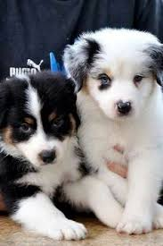 australian shepherd dog puppies that look awww love me some aussies inspiration pinterest