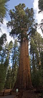 list of largest sequoias