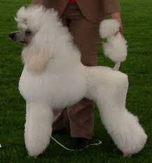 afghan hound and poodle what does a poodle look like quora