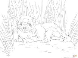 baby ferret coloring pages printable coloring sheets