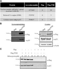 Anti Flag Affinity Gel Tumor Suppressor Protein P53 Negatively Regulates Human Pregnane X