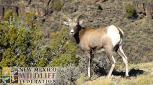 New Mexico wildlife images The new mexico wildlife federation 100 years of conservation jpg