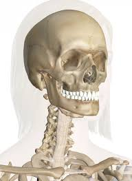Anatomy Of The Human Skeleton Bones Of The Head And Neck Interactive Anatomy Guide