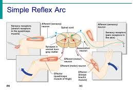 Pain Reflex Pathway Chapter 7 Part 3 The Nervous System The Reflex Arc Reflex