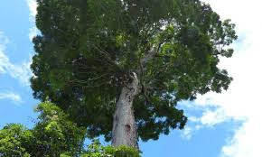 tree species in brazil probably the world s heaviest living organism