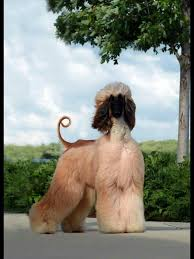 afghan hound lifespan 1117 best afghan hounds u0026 tibetan terriers images on pinterest
