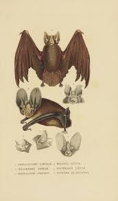 chauve souris bat gravures sciences naturelles histoire